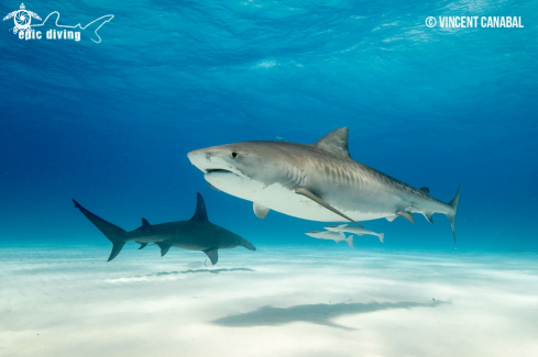 A Tiger Shark and Great Hammerhead Shark