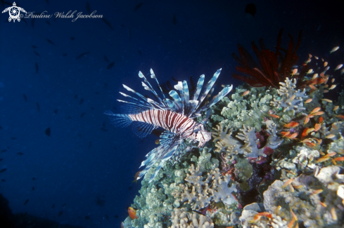A Lionfish and Anthias