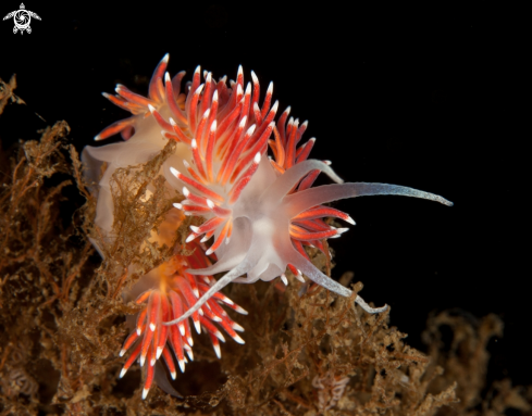 A Flabellina sp