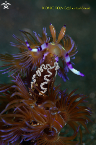 A Nudibranch with eggs