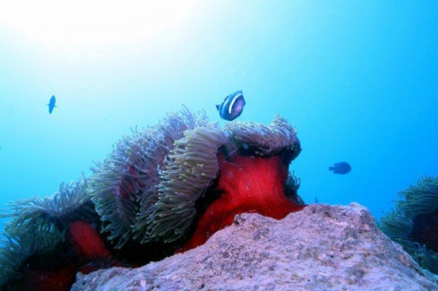 A Clownfish and Anemone ,Pointe d'Esny Mahebourg