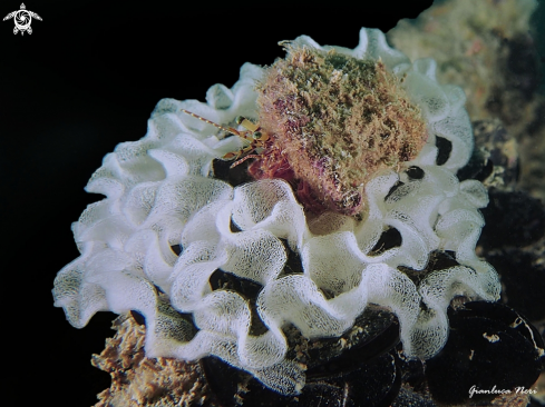 A Pagurus and nudi eggs