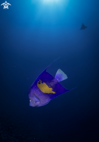 A Red Sea Angelfish, Eagle Ray