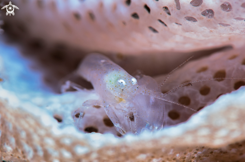 A Lacy Bryozoan shrimp