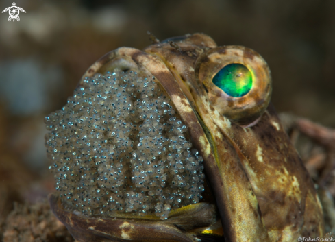 A Banded Jawfish