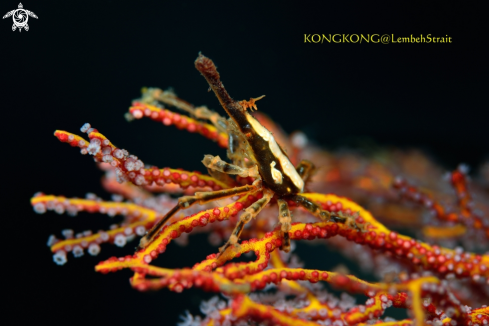 A Squat Lobster