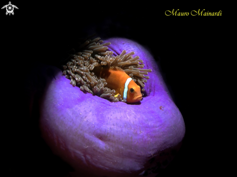 A Anemone and clownfish