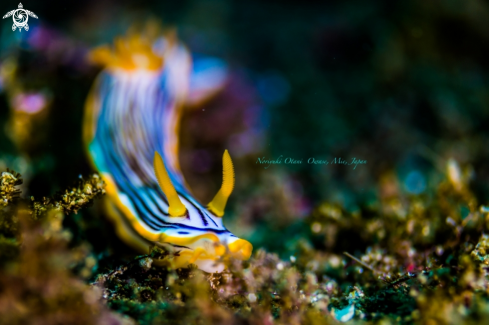 A Chromodoris burni Rudman, 1982 | nudibranch