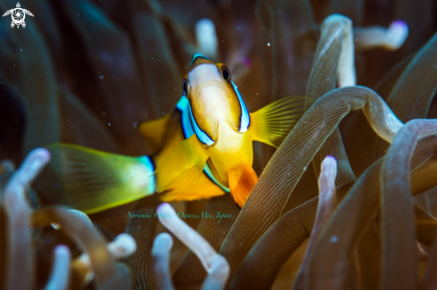 A Amphiprion clarkii (Bennett, 1830) | yellowtail clownfish or Clark's anemonefish