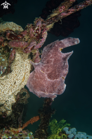 A Antennarius Comerson | Giant Frogfish