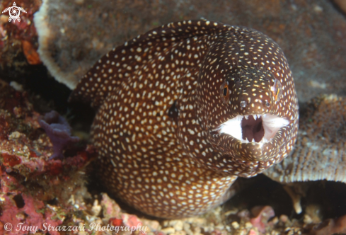 A Echidna xanthospilos | Yellow spotted moray