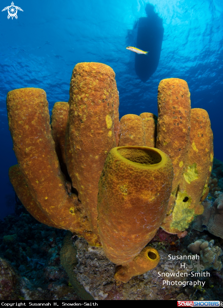 A Yellow sponges