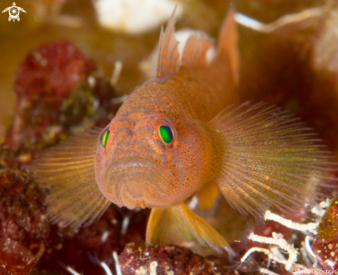 A  Priolepis hipoliti | Rusty Goby