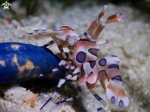 A Harlequin Shrimp