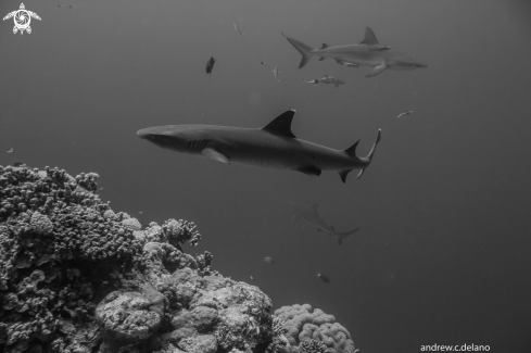 A Whitetip, Gray Reef Sharks