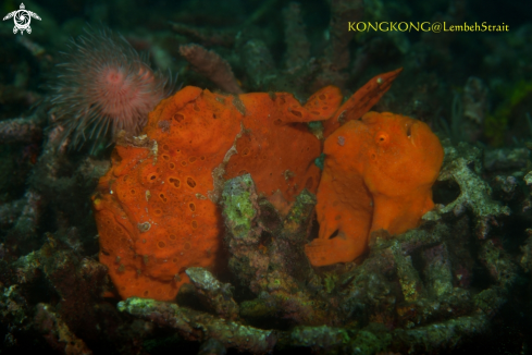 A Frogfishes