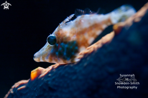 A Juvenile Slender Filefish