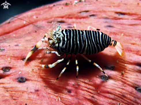 A Stripped Bumblebee Shrimp
