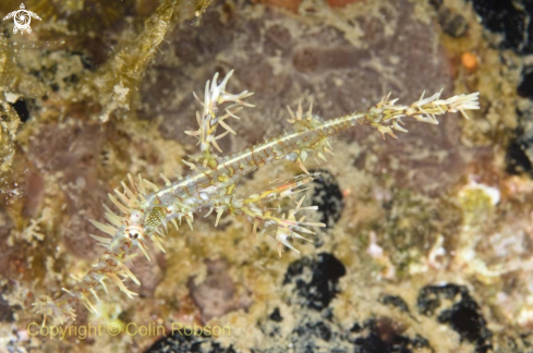A ghost pipefish