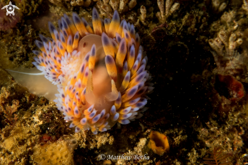 A Blue Gasflame Nudibranch