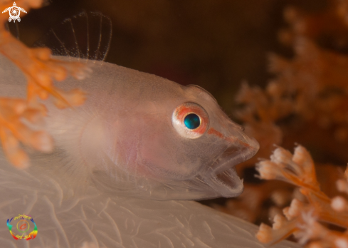 Soft coral ghost goby