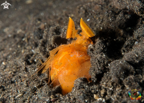 A Orange mantis shrimp