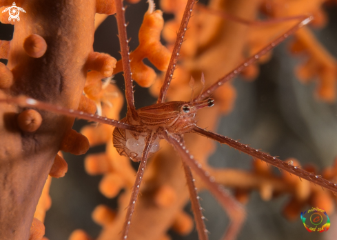 A Spiny squat lobster