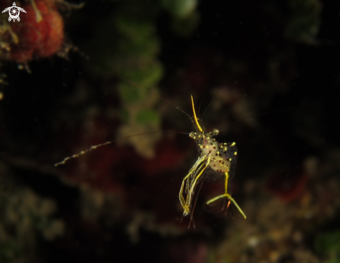 A Yellow Arrow Cleaner Shrimp