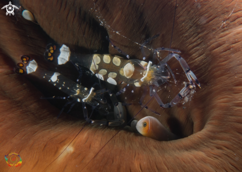 A Peacock-tail anemone shrimp
