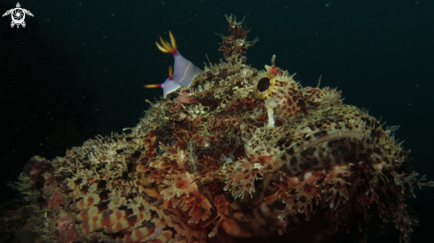 A nudi branch and Stonefish