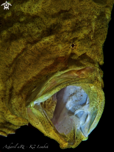 A Commerson's (Giant) Frogfish