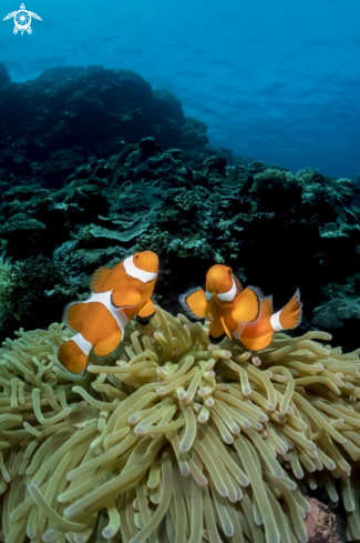 A Clown Anemonefish