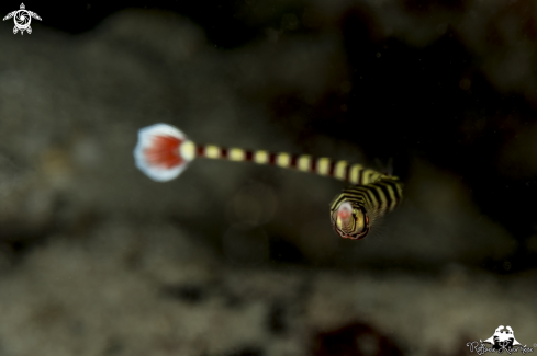 A Pipe fish