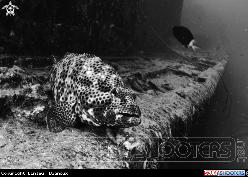 A Honeycomb Grouper