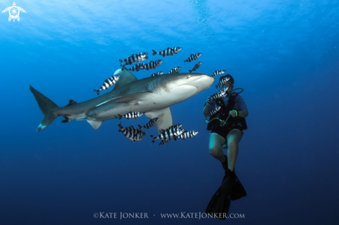 A Oceanic white tip shark