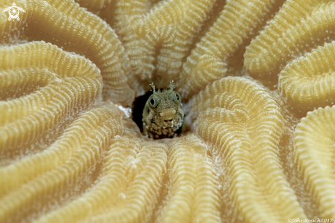 A Acanthemblemaria spinosa  | Spinyhead Blenny