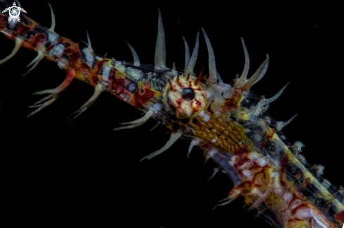 A ornate ghost pipe fish