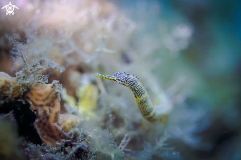 A Syngnathinae | Pipefish