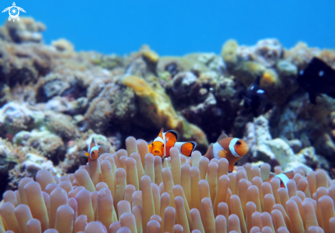 A Amphiprioninae. | Clown Fish, Anemonefish.