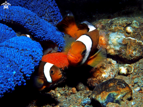 A Clown Fish - Anemonefish