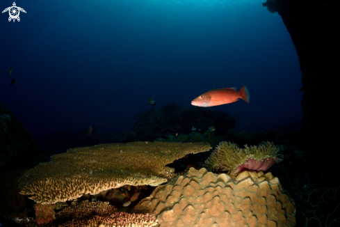 A Coral Trout