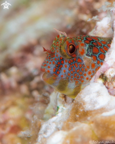 A Tessellatted Blenny