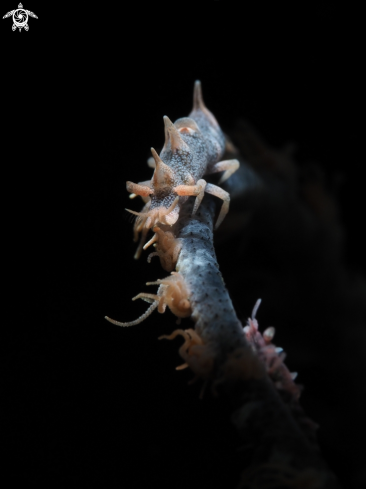 A Dragon Shrimp