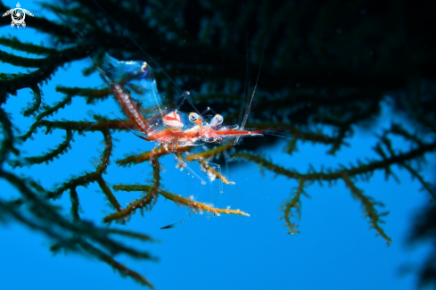 A Gorgonian shrimp