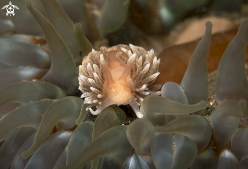 A Aeolidia | Nudibranch