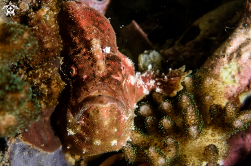 A Antennarius pictus | Painted frogfish