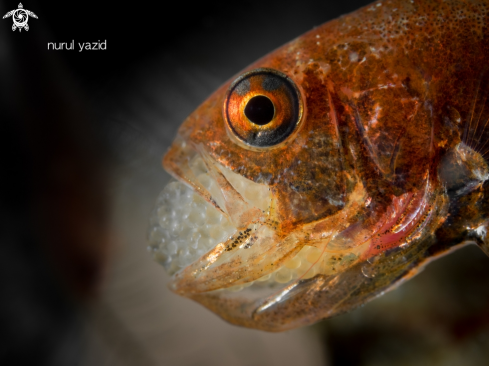 A Cardinal Fish Brooding Eggs in Mouth
