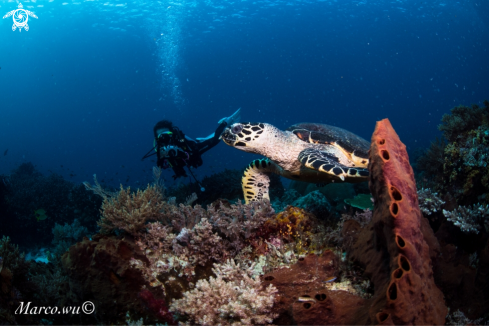 A Diver and hawksbill