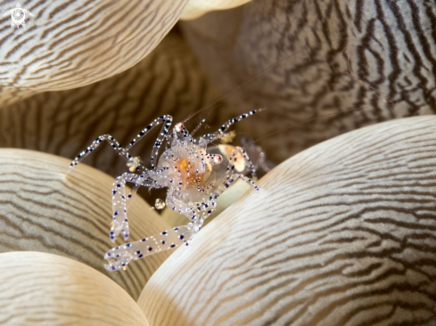 A Bubble Coral Shrimp