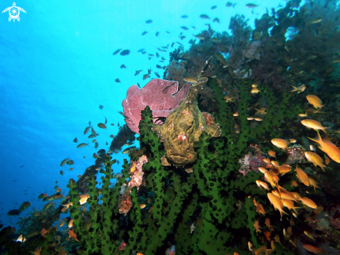 A Giant Frog Fish - Commerson Frogfish
